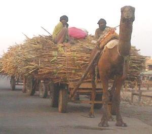 Sugarcane Pakistan - Tayyab Safdar