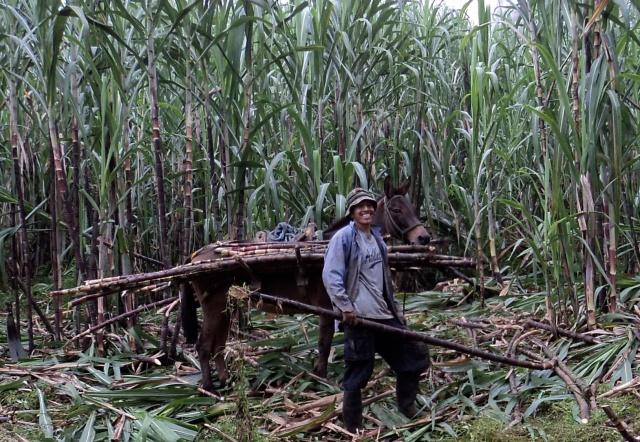 Ecuador cane farm